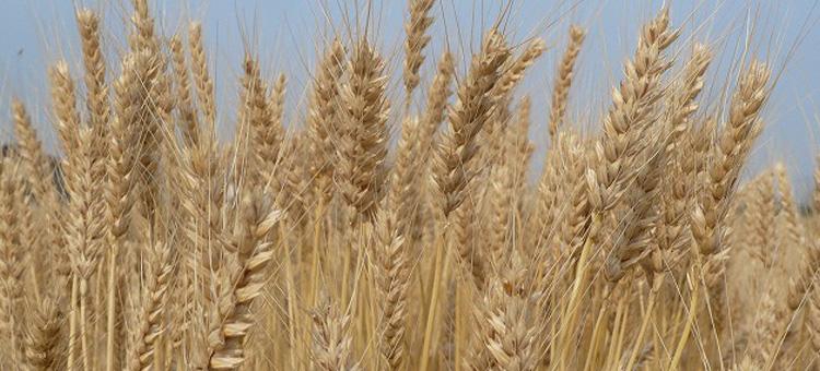 うどん用小麦さぬきの夢