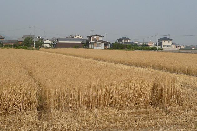 中村さんの圃場@2012.06.01