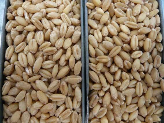 下は、調質前と後の小麦です。どちらがどっちがわかりますか?目をこらしてみると、左の方が水分を吸収して、膨らんでいるのがわかります(?)。