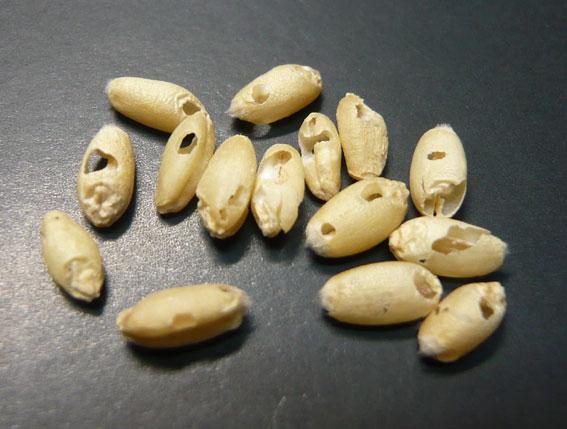 胚乳部分が食べられた小麦