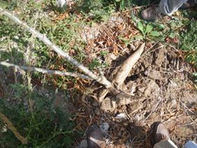 キャッサバの根茎…紡錘形をしています。